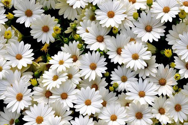 Hình nền hoa đẹp cho điện thoại - Ảnh 09