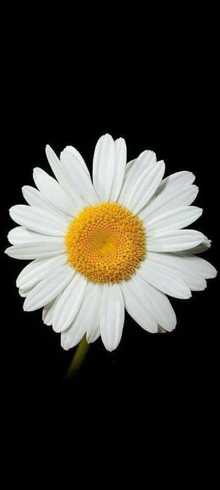 Hình nền hoa cúc họa mi 1