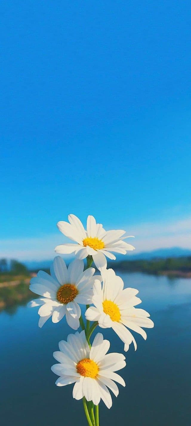 Hình nền hoa cúc họa mi 7