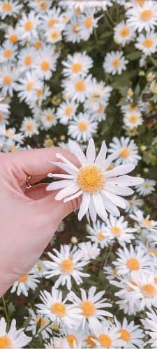 Hình nền hoa cúc họa mi 8