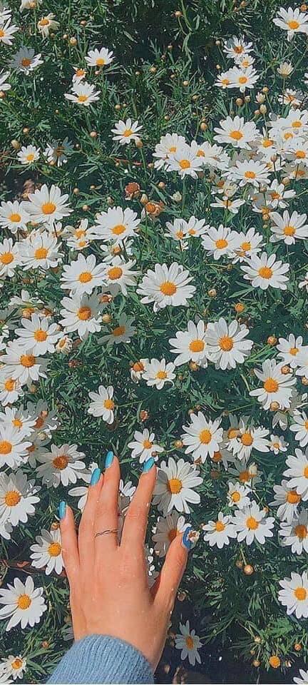 Hình nền hoa cúc họa mi 9