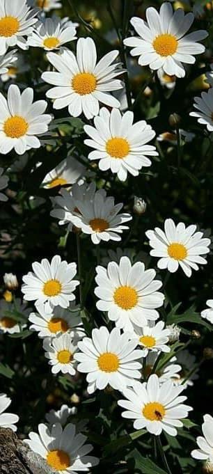 Hình nền hoa cúc trắng 10