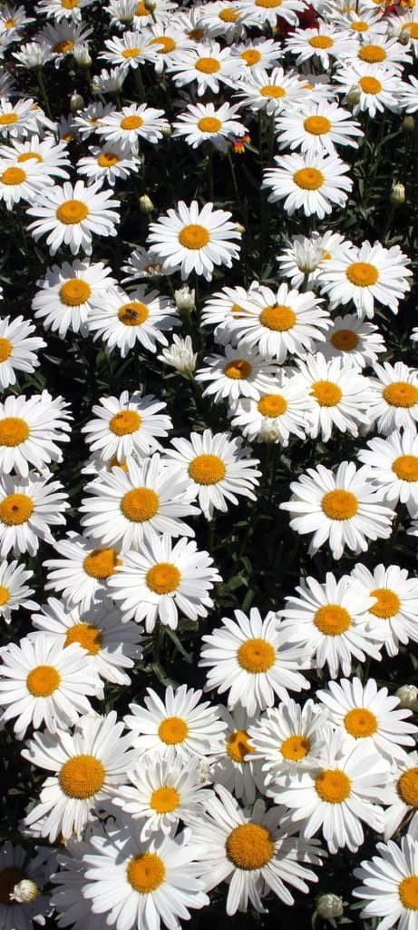 Hình nền hoa cúc trắng 12