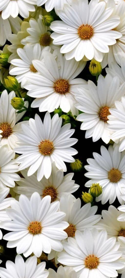 Hình nền hoa cúc trắng 13