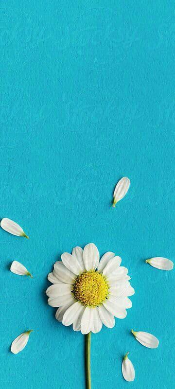 Hình nền hoa cúc trắng 5