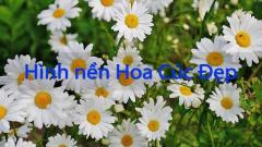 50+ Hình nền hoa cúc đẹp nhất cho điện thoại